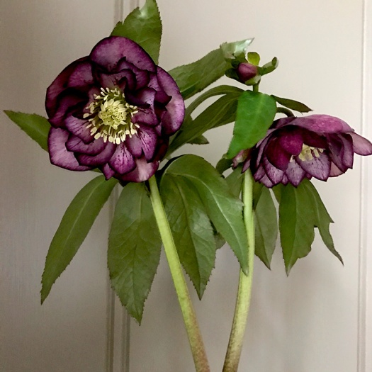 Anemone-flowered Hellebore