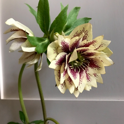 Speckled double Hellebore